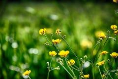 Желт-зеленое растущее цветков среди молодой зеленой травы в Стоковое Изображение