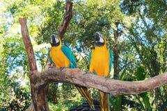 Желт-зеленый длиннохвостый попугай 2 стоковое фото rf