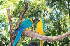 Желт-зеленый длиннохвостый попугай 2 стоковое фото