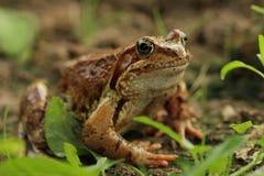 Желт-коричневая лягушка сидит стоковые фотографии rf