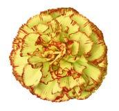 Желт-красный цветок гвоздики на белизне изолировал предпосылку с путем клиппирования closeup Для конструкции Стоковые Изображения
