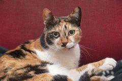 Желт-наблюданный портрет кота ситца стоковая фотография rf
