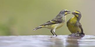 2 Желт-наблюданных Canaries взаимодействуют перед выпивать и иметь b Стоковые Фотографии RF