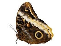 Желт-окаимленное гигантское atreus Caligo бабочки сыча изолированное на белой предпосылке Стоковое Фото