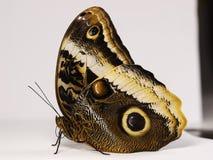 Желт-окаимленное гигантское atreus Caligo бабочки сыча сидя на белой предпосылке Стоковая Фотография RF