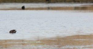 Желт-представленная счет утка питаясь в озере сток-видео