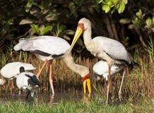 Желт-представленный счет аист, Afrikaanse Nimmerzat, Mycteria ibis стоковые фото