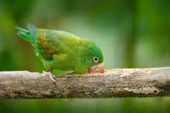 Желт-увенчанная Амазонка, auropalliata ochrocephala Amazona, зеленый попугай, сидя на ветви, Коста-Рика мир глуши природы ветви п Стоковая Фотография RF