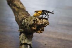 Желт-черный покрашенный жук на хворостине Стоковое Изображение
