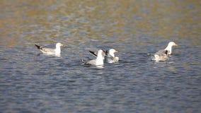 Желт-шагающие чайки моя на озере сток-видео