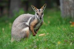 Желт-footed Wallaby утеса - xanthopus Petrogale - австралийский кенгуру Стоковое фото RF
