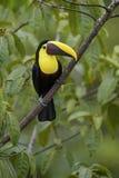 Желт-throated toucan - ambiguus Ramphastos Стоковые Изображения