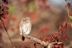 Жемчуг-запятнанный Owlet (perlatum Glaucidium) Стоковая Фотография