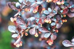 Жемчужный-голубые листья куста барбариса Стоковое фото RF