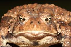Женская американская жаба Bufo americanus Стоковая Фотография RF
