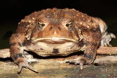 Женская американская жаба Bufo americanus Стоковая Фотография