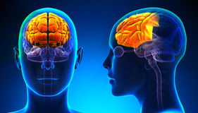 Женская анатомия мозга лобной доли - голубая концепция Стоковая Фотография RF