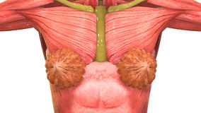 Женская анатомия тела мышцы Стоковая Фотография