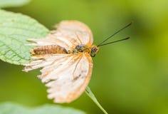 Женская бабочка Джулии, женщина, конец вверх по съемке макроса стоковые фотографии rf