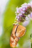 Женская бабочка Джулии, конец вверх по съемке макроса стоковые фотографии rf