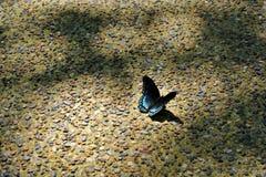 Женская бабочка рябчика Дианы Стоковые Фотографии RF