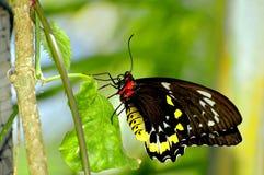 Женская бабочка Birdwing пирамид из камней, Флорида Стоковое Фото