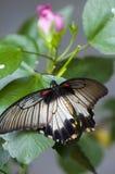 Женская большая бабочка Мормона Стоковое Изображение