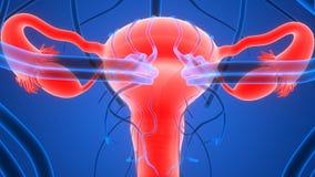 Женская воспроизводственная система с нервной системой и мочевыделительным пузырем Стоковая Фотография