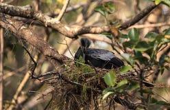 Женская вызванная птица американской змеешейки американской змеешейкой Американской змеешейки делает гнездо Стоковое фото RF