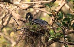 Женская вызванная птица американской змеешейки американской змеешейкой Американской змеешейки делает гнездо Стоковые Изображения RF