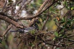 Женская вызванная птица американской змеешейки американской змеешейкой Американской змеешейки делает гнездо Стоковые Изображения