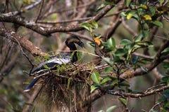 Женская вызванная птица американской змеешейки американской змеешейкой Американской змеешейки делает гнездо Стоковое Изображение