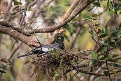 Женская вызванная птица американской змеешейки американской змеешейкой Американской змеешейки делает гнездо Стоковое Фото