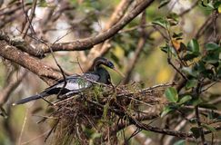 Женская вызванная птица американской змеешейки американской змеешейкой Американской змеешейки делает гнездо Стоковая Фотография