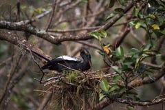 Женская вызванная птица американской змеешейки американской змеешейкой Американской змеешейки делает гнездо Стоковые Фотографии RF