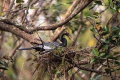 Женская вызванная птица американской змеешейки американской змеешейкой Американской змеешейки делает гнездо Стоковое Изображение RF