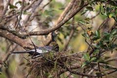 Женская вызванная птица американской змеешейки американской змеешейкой Американской змеешейки делает гнездо Стоковая Фотография RF