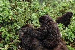Женская горилла горы с младенцем на верхней части стоковое фото rf