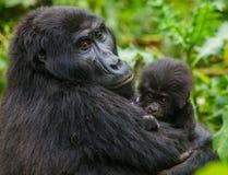 Женская горилла горы с младенцем Уганда Национальный парк леса Bwindi труднопроходимый стоковое фото rf
