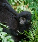 Женская горилла горы с младенцем Уганда Национальный парк леса Bwindi труднопроходимый стоковое фото
