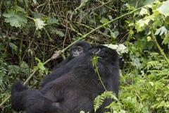 Женская горилла горы с младенцем, Na леса Bwindi труднопроходимым стоковые фото