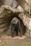 Женская горилла Стоковые Фотографии RF