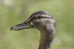 Женская голова утки кряквы в профиле Стоковая Фотография