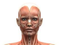Женская голова Muscles анатомия - вид спереди Стоковое фото RF