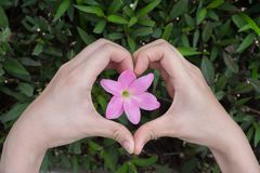 Женская делая форма сердца влюбленности руками вокруг цветка стоковое фото