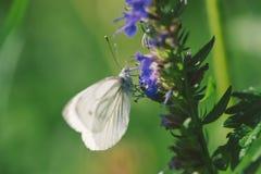 Женская европейская большая капуста и белая бабочка подавая на цветке Стоковые Изображения RF