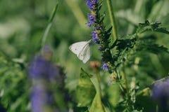 Женская европейская большая капуста и белая бабочка подавая на цветке Стоковое Фото