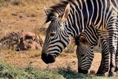 Женская зебра с детенышами Стоковые Изображения RF