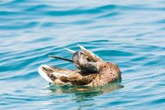 Женская дикая утка Стоковые Фотографии RF