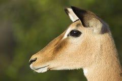 Женская импала (Aepyceros Melampus) Южно-Африканская РеспублЍ. Портрет стоковые изображения rf